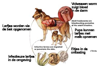 Cyclus van haakwormen bij honden