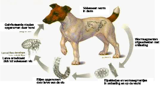 Cyclus lintwormen bij honden