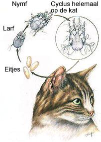 Cyclus oormijt kat