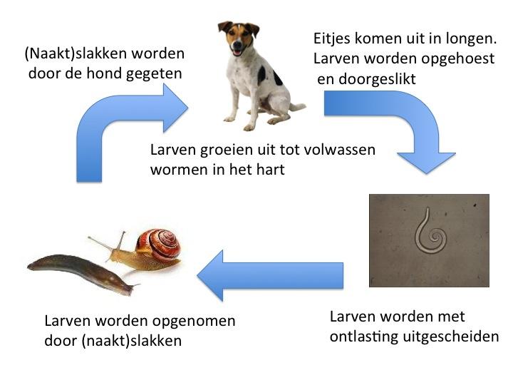 Levenscyclus Franse Hartworm