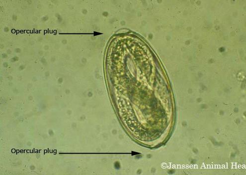 Gaapwormei (Bron: Janssen Animal Health)
