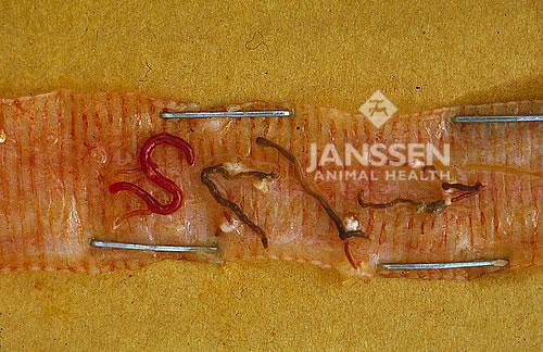 Gaapworm (Bron: Janssen Animal Health)