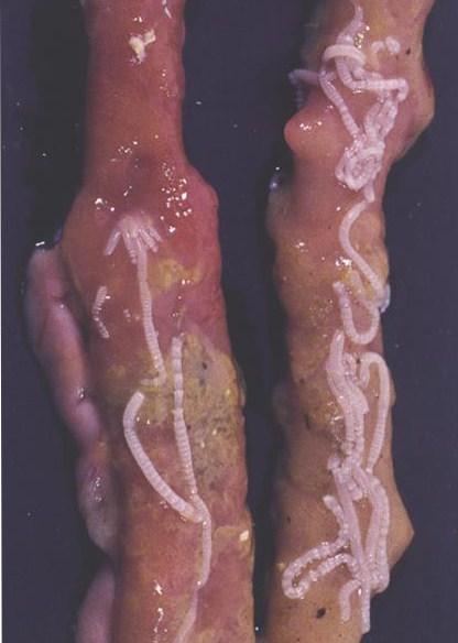 Lintwormen bij de kip (Bron: Janssen Animal Health)