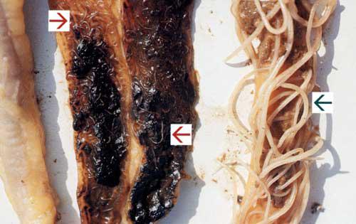De meest rechtse pijl wijst naar de dunne darm van een kip met grote spoelwormen. De middelste en linkse pijl wijzen naar de blinde darm van een kip met kleine spoelwormen. (Bron: Janssen Animal Health)
