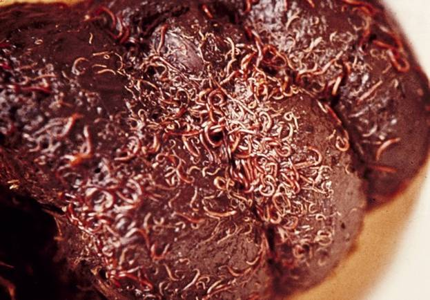 Kleine bloedwormen op mestbal (foto M. Eysker)