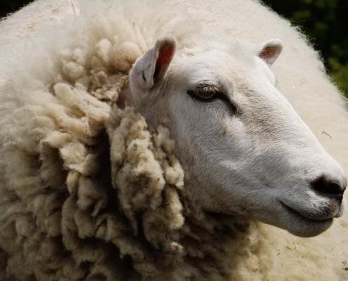 hoofd schaap