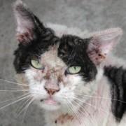 Kat met schurft voor behandeling