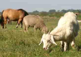 Paarden, schapen en geiten grazen samen