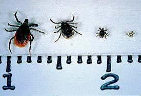 Een vrouwtjes en mannetjes teek, een nymf en een larve